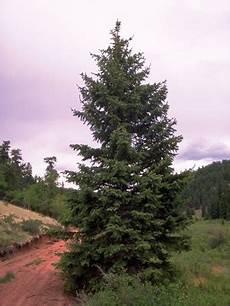 engelmann sprüche colorado s major tree species colorado state forest service