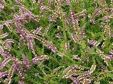 calluna vulgaris sorten berkeley butterfly calluna vulgaris