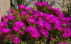 piante grasse fiori fucsia piante grasse con fiori da appartamento le pi 249 e