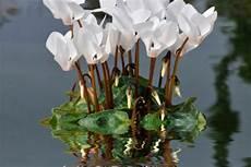 pflege alpenveilchen richtig alpenveilchen 187 pflanzen pflegen d 252 ngen und mehr