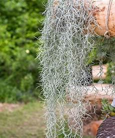 tillandsia usneoides kaufen tillandsia usneoides gardening h 228 ngepflanzen zimmer