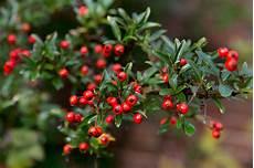 pflanze mit roten beeren best hedging plants for shade gardenersworld