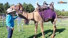 How To Saddle A Camel Tutorial For Camel Or