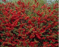 arbustes à fleurs rouges arbuste fleur hiver fleur de