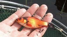 probleme mit freigelassenen goldfischen salzburg orf at