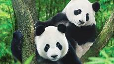 Panda Kini Bukan Hewan Langka Cina Tak Begitu Gembira