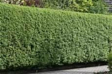 schöne pflanzen für den garten sch 195 182 ne gro 195 ÿe gr 195 188 ne als gartenzaun sichtschutz am