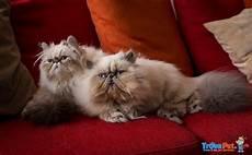 gatti persiani regalo gatti persiani colourpoint maschi interi 10 mesi in
