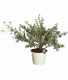 eukalyptus busch dehner