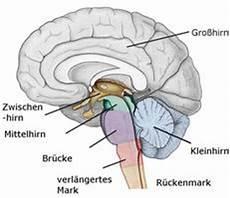Hirntumor Symptome Auge - das zwischenhirn diencephalon