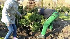 buxus buchsbaum einpflanzen big