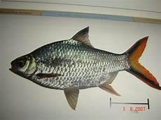 Gambar Dan Nama Jenis Ikan Hias Air Tawar Gambar Ikan Hias