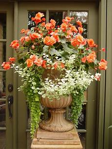 begonie in vaso solenia orange begonias variegated licorice and creeping