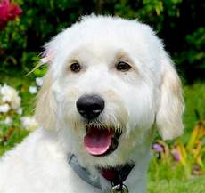 goldendoodle haircuts goldendoodle grooming timberidge goldendoodle haircuts goldendoodle grooming goldendoodle haircuts goldendoodle grooming