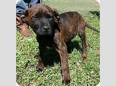 Little Bear   Adopted Puppy   Weeki Wachee, FL   Mastiff