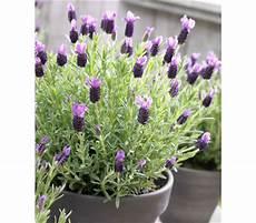 Schopf Lavendel Anouk Dehner Garten Center
