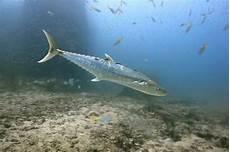 Jenis Dan Gambar Ikan Tenggiri Paling Lengkap Nama Nama