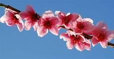 fiori di rosa fiori di pesco gocce di note fiori rosa fiori di pesco lucio battisti