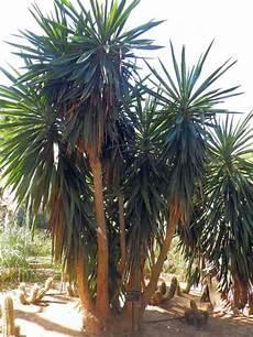yucca palme pflegen string form palm fronds bushcraft