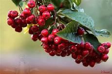 pflanze mit roten beeren rote beeren foto bild pflanzen pilze flechten