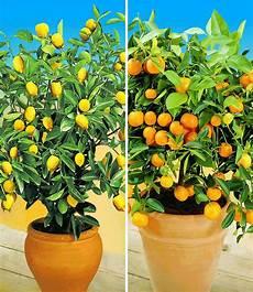 zitronen orangenbaum pflanzen zitronenpflanze und