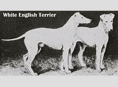 English White Terrier Breed Guide   Learn about the