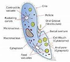 what is a ciliated cell quora