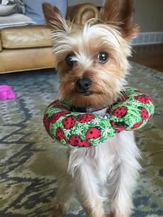 38 best shorkies haircuts images pinterest hair cut hair style and shorkie dogs