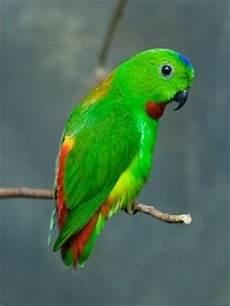 Bayan Puling Serindit Tanau Galeri Gambar Gambar Burung