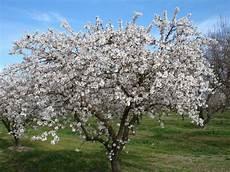 fiori mandorlo la leggenda mandorlo in fiore laurin42