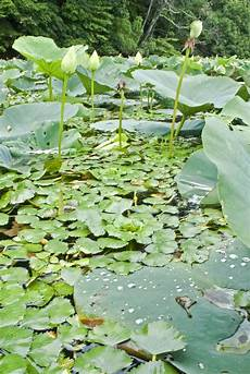 plante d eau ch 226 taigne d eau planter et cultiver ooreka