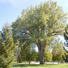 arbre a pousse rapide arbres 224 croissance rapide liste ooreka