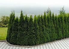thuja smaragd ca 40 60 cm 8 pflanzen f 252 r 4 meter hecke
