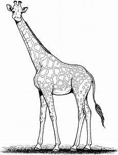 malvorlagen giraffe malen