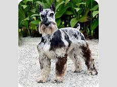 Jasper   Adopted Dog   Hagerstown, MD   Schnauzer (Standard)