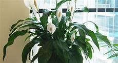 piante da appartamento con fiori bianchi spatifillo spathiphyllum spathiphyllum piante da