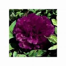 pivoine arbustive en pot pivoine arbustive osiris plantes et jardins