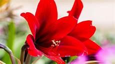 amaryllis pflege nach blüte amaryllis 252 berwintern 252 bersommern pflege nach der bl 252 te