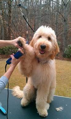 types of goldendoodle haircuts google search pretty types of goldendoodle haircuts google search goldendoodles pinterest pets puppys and