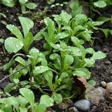 meine ernte feldsalat anbauen pflegen ernten und lagern
