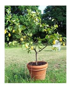 agrumes en pot planter les agrumes orangers citronniers gamm vert