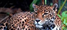 saving the jaguar latin america s iconic and endangered species