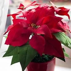 weihnachtsstern pflanze pflege pflanzenpflege pflanzen 252 berwintern 10 tipps f 252 r balkon