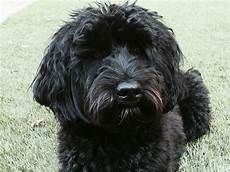 black labradoodle haircuts finley our black labradoodle black labradoodle labradoodle haircut labradoodle