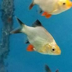 nextt tetra ii platinum customer reviews prices specs platinum green tiger barb puntius tetrazona