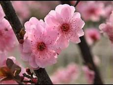 fiori di rosa fiori di pesco beautiful flowers the blossom melody