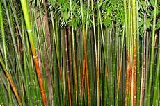 bambus teilen 187 wann wie geht s am besten