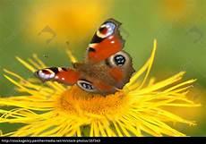 Malvorlagen Schmetterling Xing Schmetterling Auf Blume 9 Lizenzfreies Bild 337343