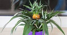growing your own pineapple is way easier than you d think