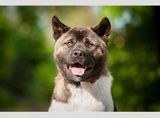 American Akita   Charakter   Wesen   Hunde fan.de